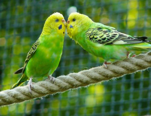 Electrochemotherapy in a budgerigar parakeet